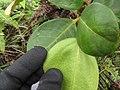 Starr-110722-7662-Polyscias oahuensis-leaves-Waihee Ridge Trail-Maui (24733786409).jpg
