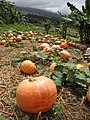 Starr-111004-0571-Cucurbita pepo-habit and pumpkin patch-Kula Country Farms-Maui (25025089981).jpg