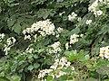 Starr-111129-1524-Montanoa hibiscifolia-flowering habit-Ulupalakua-Maui (24752855529).jpg