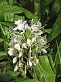 Starr-120301-3234-Hedychium coronarium-flowers-Enchanting Floral Gardens of Kula-Maui (24769230329).jpg