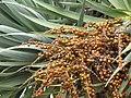 Starr-120403-4177-Dracaena draco-fruit and leaves-Kula-Maui (24842899630).jpg