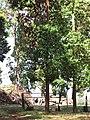 Starr-120510-5664-Lophostemon confertus-habit with some dieback-Ka Hale Olinda-Maui (24846716840).jpg