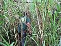 Starr-120606-6824-Cenchrus purpureus-thicket with Ian-Kahanu Garden NTBG Hana-Maui (25050991361).jpg