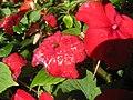 Starr-130114-1400-Impatiens walleriana-flower with water spots-Paia-Maui (25111272131).jpg