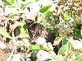 Starr-130320-3382-Pluchea carolinensis-flowers with Strymon bazochii smaller Lantana butterfly biocontrol-Nihoku Mokolea Pt Kilauea Pt NWR-Kauai (24913485030).jpg