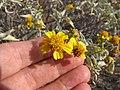 Starr-130422-4273-Encelia farinosa-flowers-Kahului-Maui (25184139666).jpg