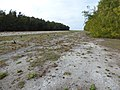 Starr-150403-0498-Eustachys petraea-filling in abandoned runway-Near NS Runway Sand Island-Midway Atoll (25276972825).jpg