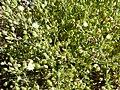 Starr-151106-0395-Arenaria serpyllifolia-flowers leaves-Science City-Maui (25678994924).jpg