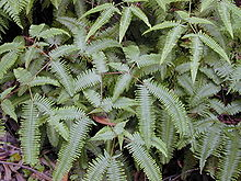 http://upload.wikimedia.org/wikipedia/commons/thumb/d/d4/Starr_020803-0027_Dicranopteris_linearis.jpg/220px-Starr_020803-0027_Dicranopteris_linearis.jpg