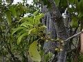 Starr 031111-0093 Nestegis sandwicensis.jpg