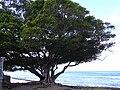 Starr 031209-0002 Ficus microcarpa.jpg