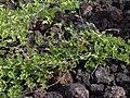 Starr 040513-0003 Canavalia pubescens.jpg