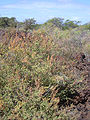 Starr 040526-0025 Amaranthus hybridus.jpg