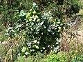 Starr 070207-4327 Calotropis procera.jpg