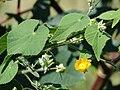 Starr 070215-4592 Abutilon grandifolium.jpg