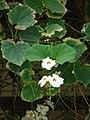 Starr 070405-6816 Thunbergia grandiflora.jpg