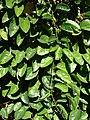 Starr 071024-0405 Passiflora quadrangularis.jpg