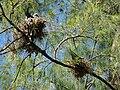 Starr 080614-8898 Casuarina equisetifolia.jpg