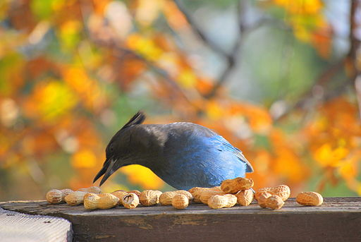 Steller's Jay reaching for peanut with beak