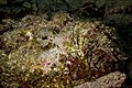 Stone fish, liabale west, wakatobi, 2018 (44900169015).jpg