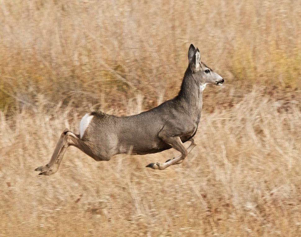 Stotting mule deer