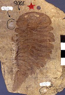 <i>Strabops</i> genus of extinct arthropod