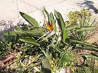 Strelitzia reginae from Kedumim 106.jpg