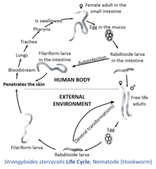 Life Cycle of Strongyloides stercoralis inside and outside of the ...