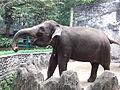 Sumatran elephant Elephas maximus sumatranus Ragunan Zoo.JPG