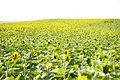 Sunflower field Miháshi út.jpg