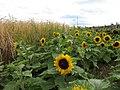 Sunflowers, Ardross - geograph.org.uk - 217422.jpg