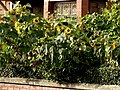 Sunflowers outside terrace house in Acomb Street in Moss Side, Manchester - panoramio.jpg