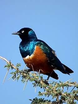 Superb Starling Lamprotornis superbus 3540 cropped Nevit.jpg