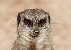 Suricata suricatta - Zoo Karlsruhe 02.jpg