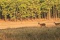 Swamp deer (14).jpg