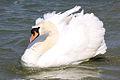 Swan - Grafham Water - April 2009 (3453886636).jpg