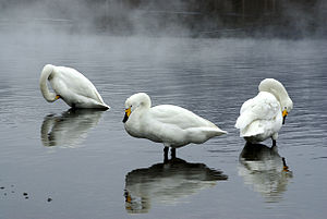 Lake Manpo and Lake Bonpo Important Bird Area - The lakes are important for wintering whooper swans