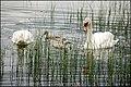 Swans and cygnets, Kernan Lake near Gilford - geograph.org.uk - 469360.jpg
