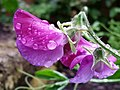 Sweet Peas in the rain, 8 (geograph 5060041).jpg