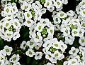 Sweet alison -- Lobularia maritima.jpg