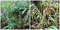 Sword fern & fiddle head. (5118382716).jpg