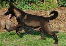 Tamaskan Dog - Wikipedia