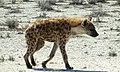 Tüpfelhyäne - Spotted Hyena (32910462492).jpg