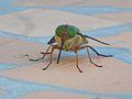 Tabanidae face to face.jpg