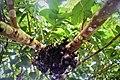 Tabog-Tabog Tree.jpg