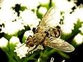 Tachinid Fly (31826480585).jpg