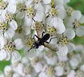 Tachinidae. - Flickr - gailhampshire.jpg