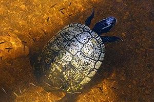 Cuban slider - Taco river slider or hickatee T. d. angusta Grand Cayman