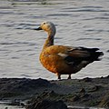 Tadorna ferruginea, ruddy shelduck - 31.jpg