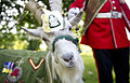 Taffy The Regimental Goat for Second Battalion the Royal Welch Regiment MOD 45154379.jpg